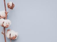"""Die """"schmutzigste Pflanze der Welt"""": Pestizideinsatz im Baumwollanbau"""