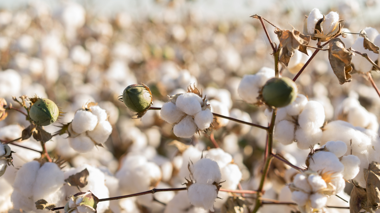 The 'World's Dirtiest Crop': Pesticide Use in Cotton Production