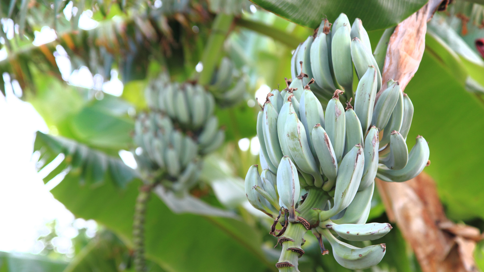 Bananenfasern