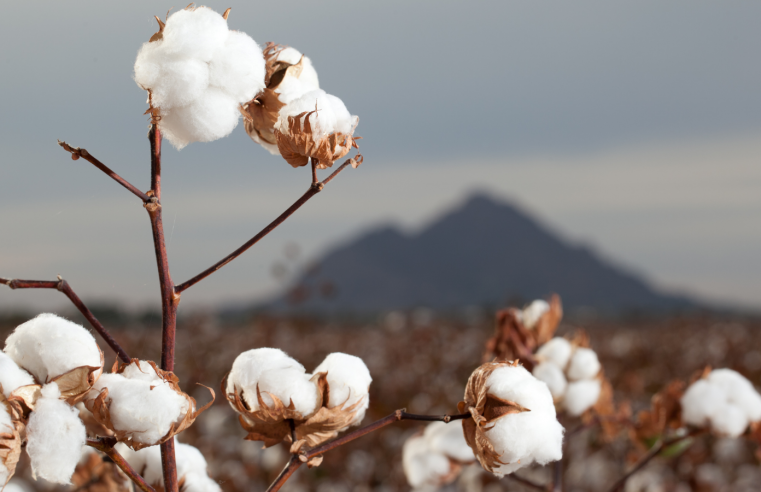 The Water Consumption Attributable to Cotton Production