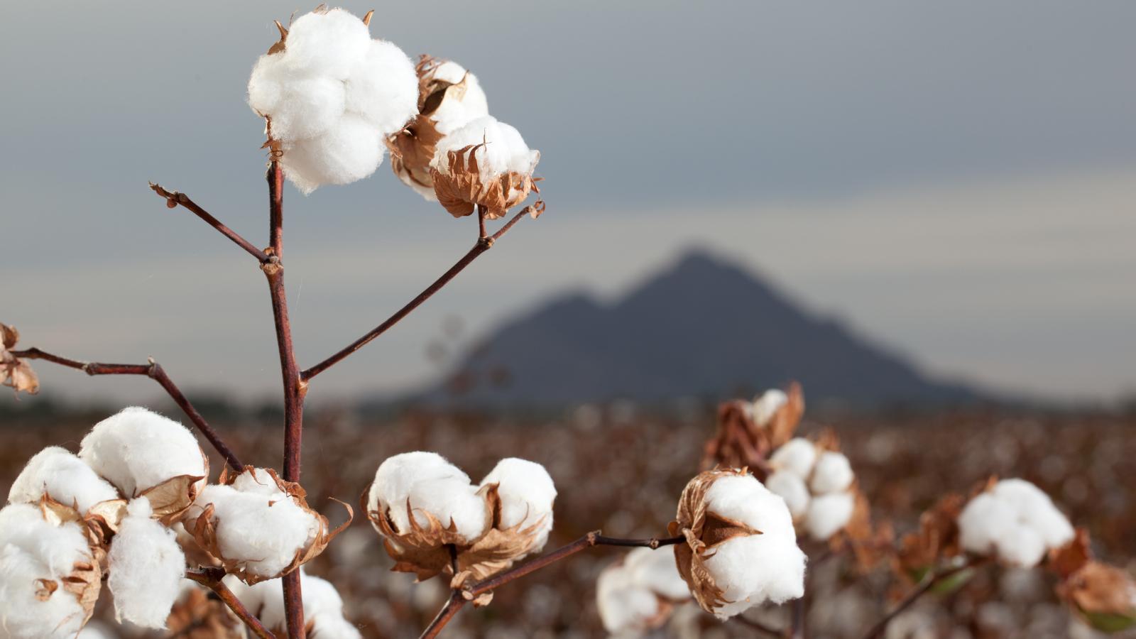 Wasserverbrauch durch die Baumwollproduktion