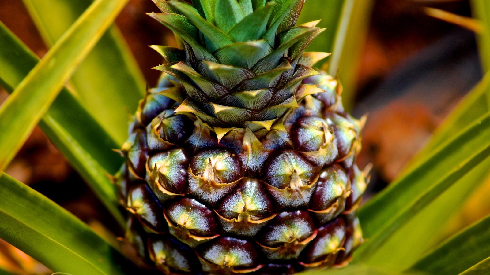 Ananas – die Zukunft des Leders?